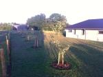 5 æbletræer klar i plantagen :-)